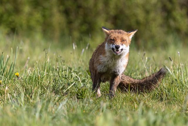 Snarling Fox