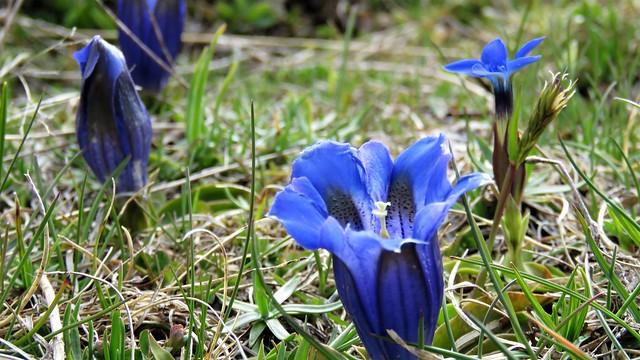Gentiane acaule et gentiane de printemps