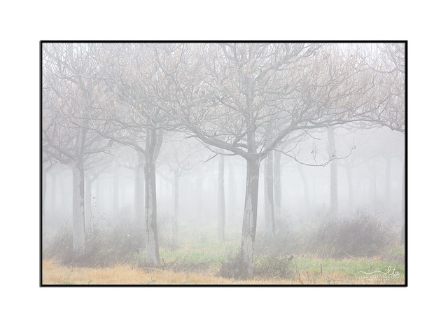 Rows of trees in a very heavy fog