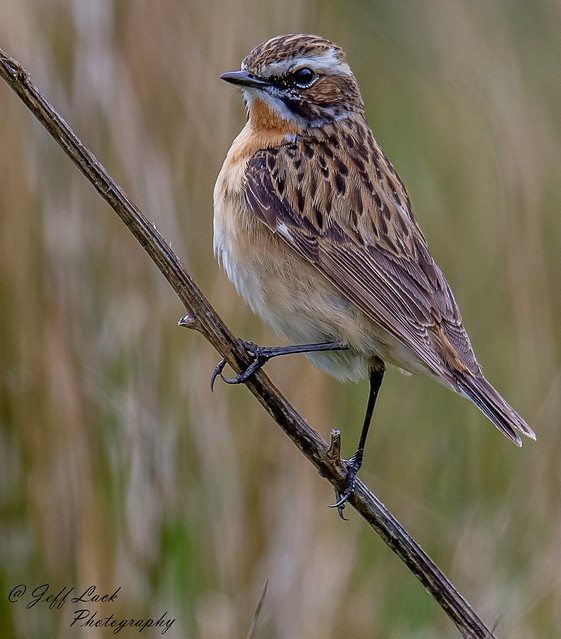 DSC2325  Whinchat....