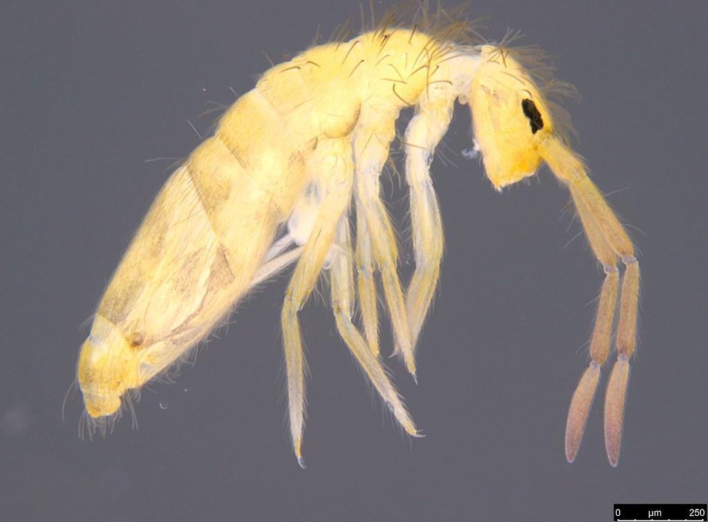2 - Entomobryidae sp.
