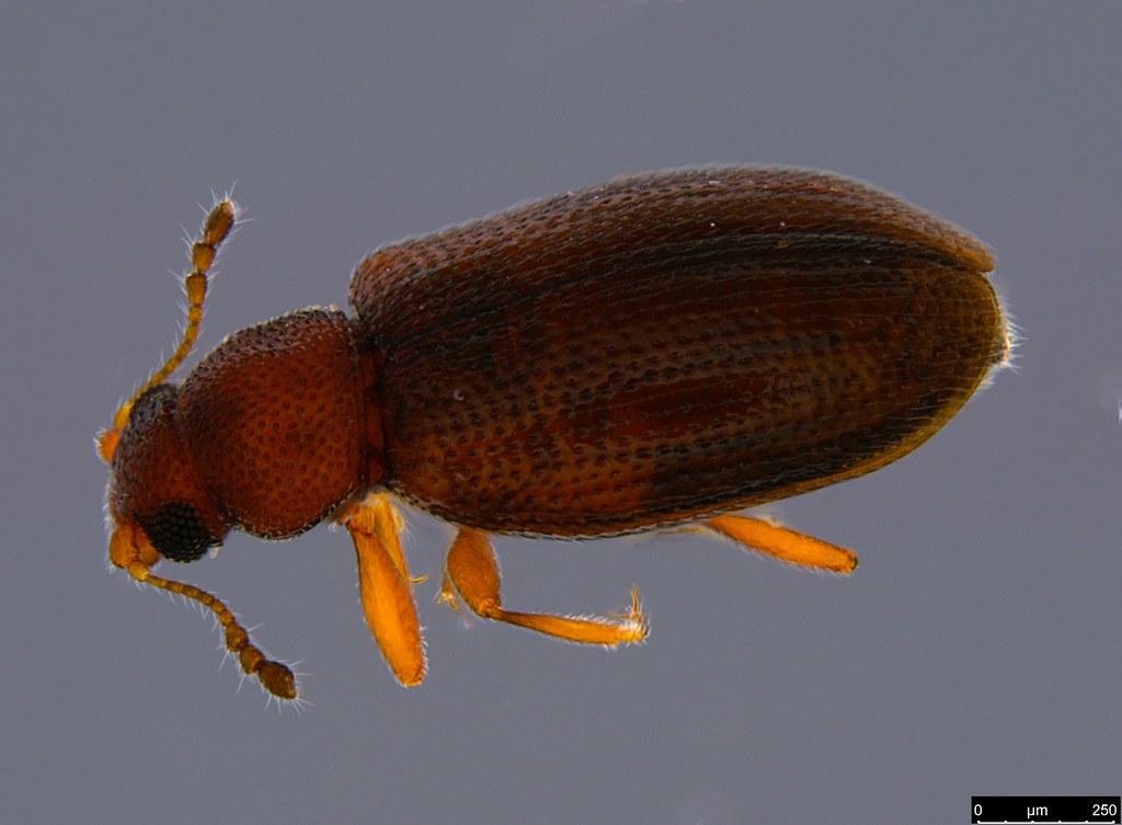 6a - Coleoptera sp.