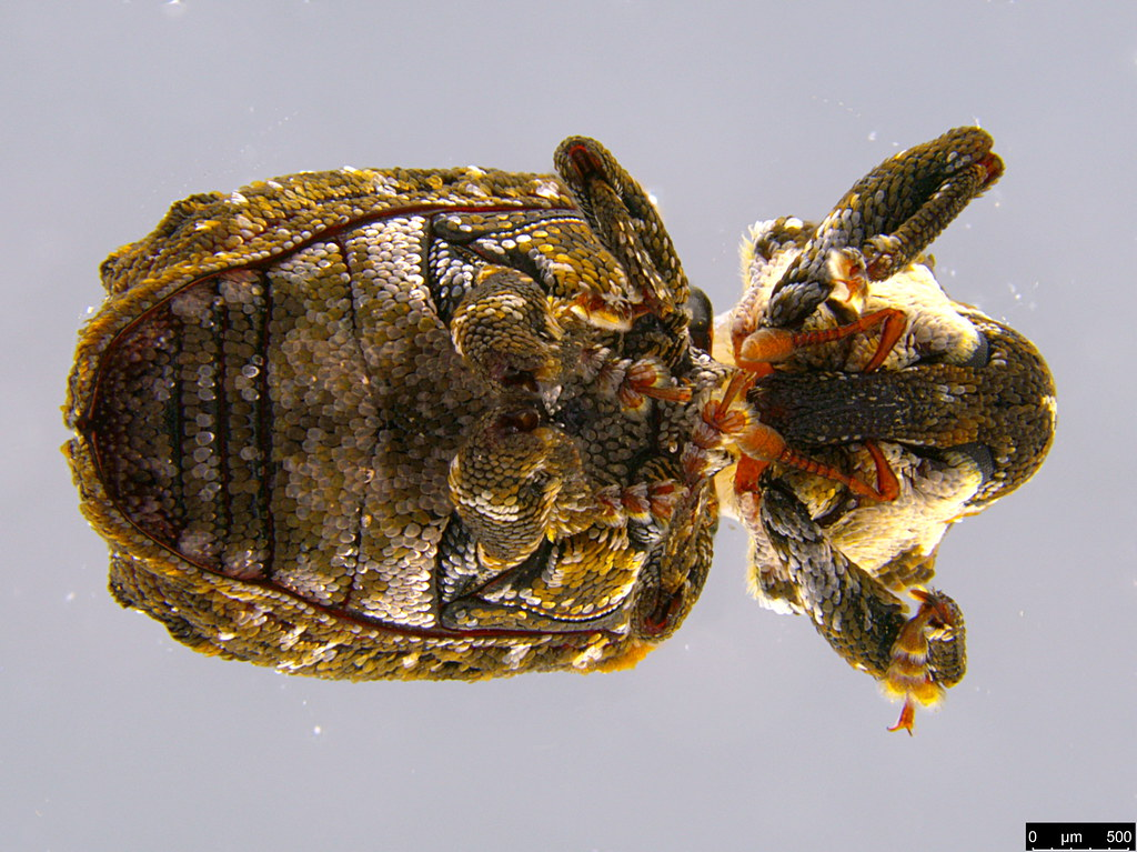 5b - Curculionidae sp.