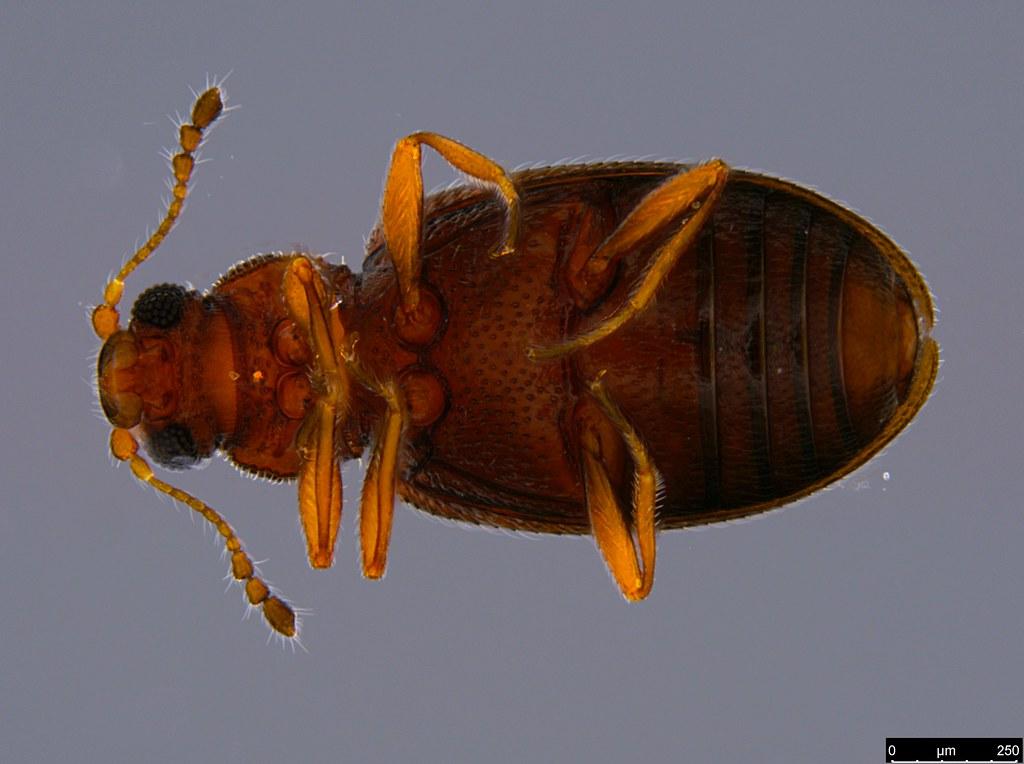 6b - Coleoptera sp.