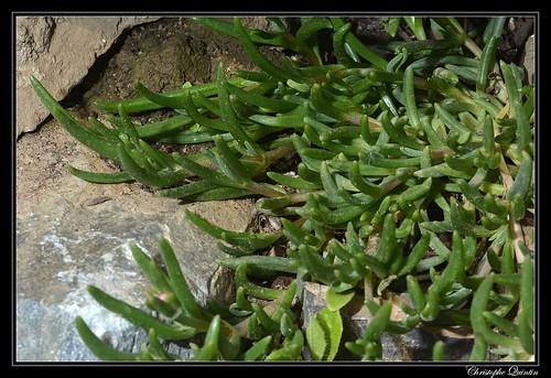 Pourpier de Cooper (Delosperma cooperi)