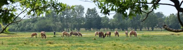 chevaux Landais (7)