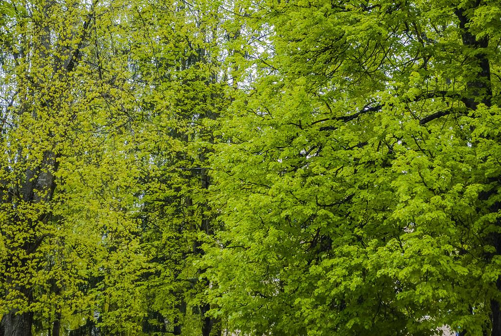 Best spring green ! Un atkal skaistais zaļais!! 15:37:07 DSC_2213
