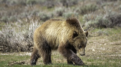 grizzly in the Tetons