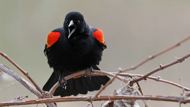 Red-winged Blackbird Intensity