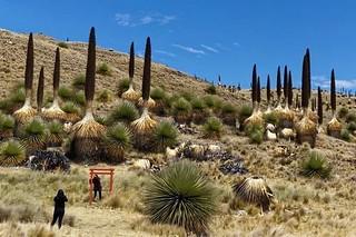 La regina delle Ande: Puya raimondii