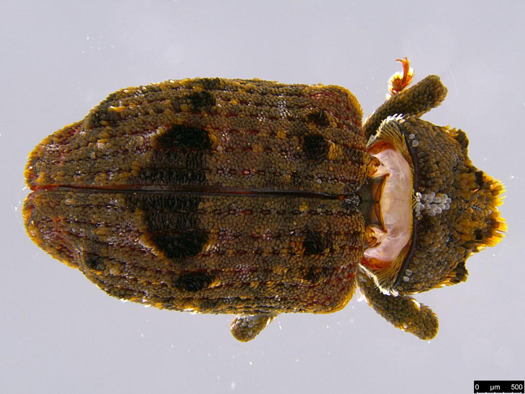 5d - Curculionidae sp.