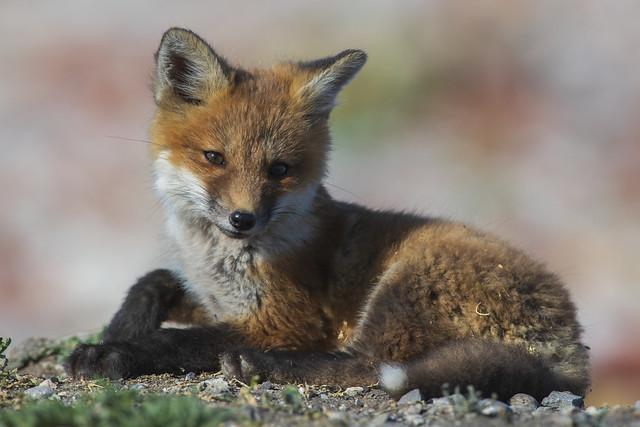 Fox Kit   Vulpes Vulpes