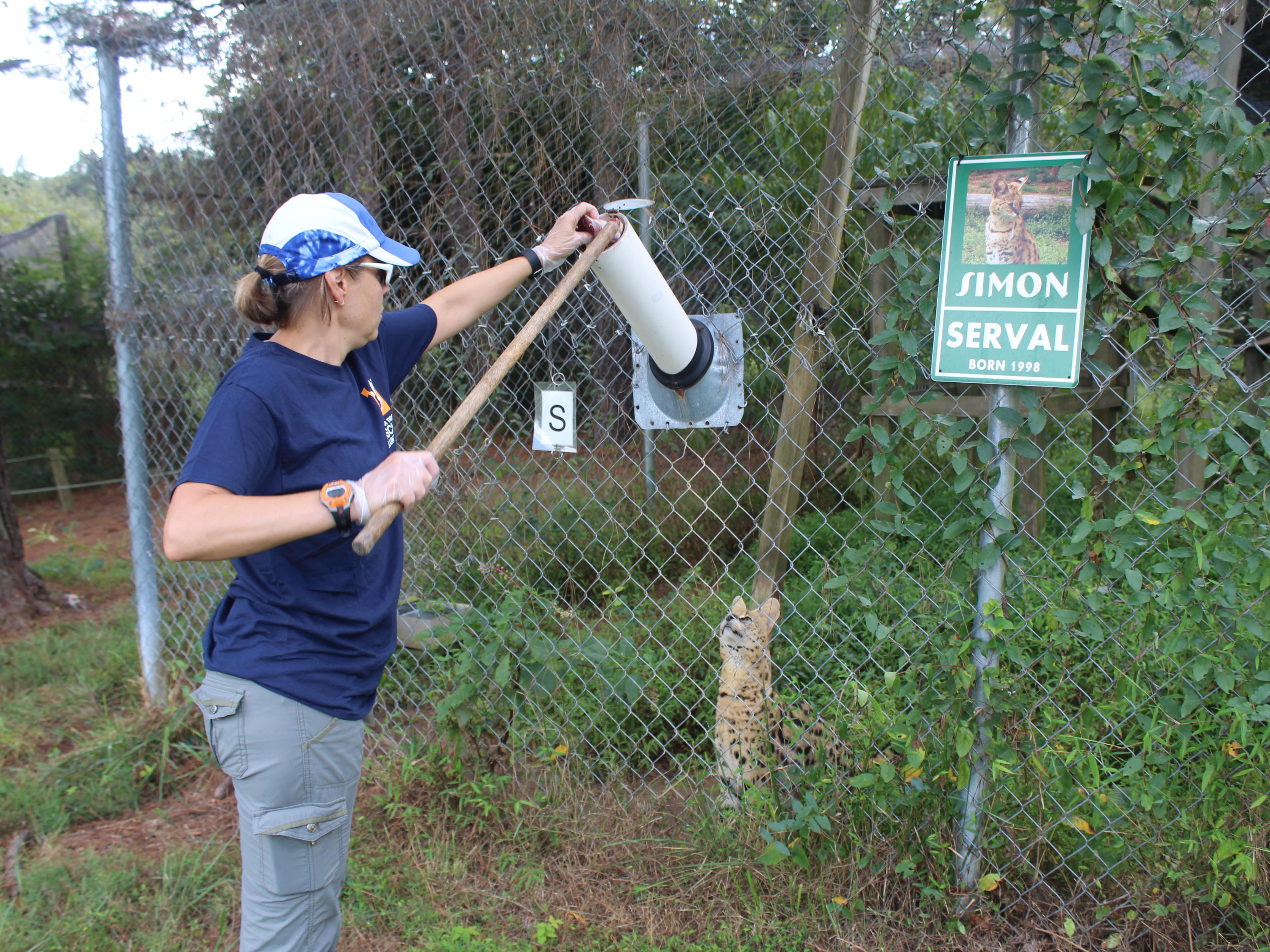 Individual volunteering at Carolina Tiger Rescue