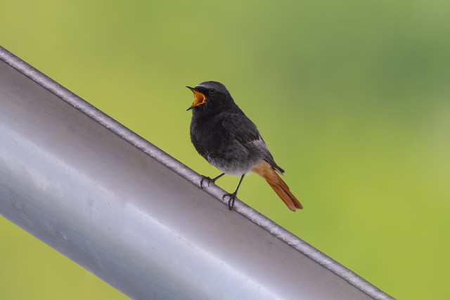 ♂ Black Redstart / Hausrotschwanz