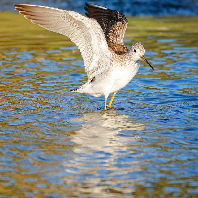 Flapping: Greater Yellowlegs
