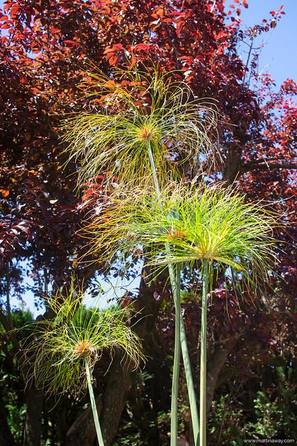 Papiro nei Giardini Botanici