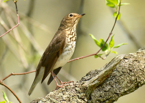 Swainson's Thrush - Firehouse Woods - © Alan Bloom - May 21, 2021