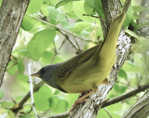 Mourning Warbler - Lakeview Community Church Trail - © Eunice Thein - May 22, 2021