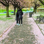 Cherry blossom walkway in Preston