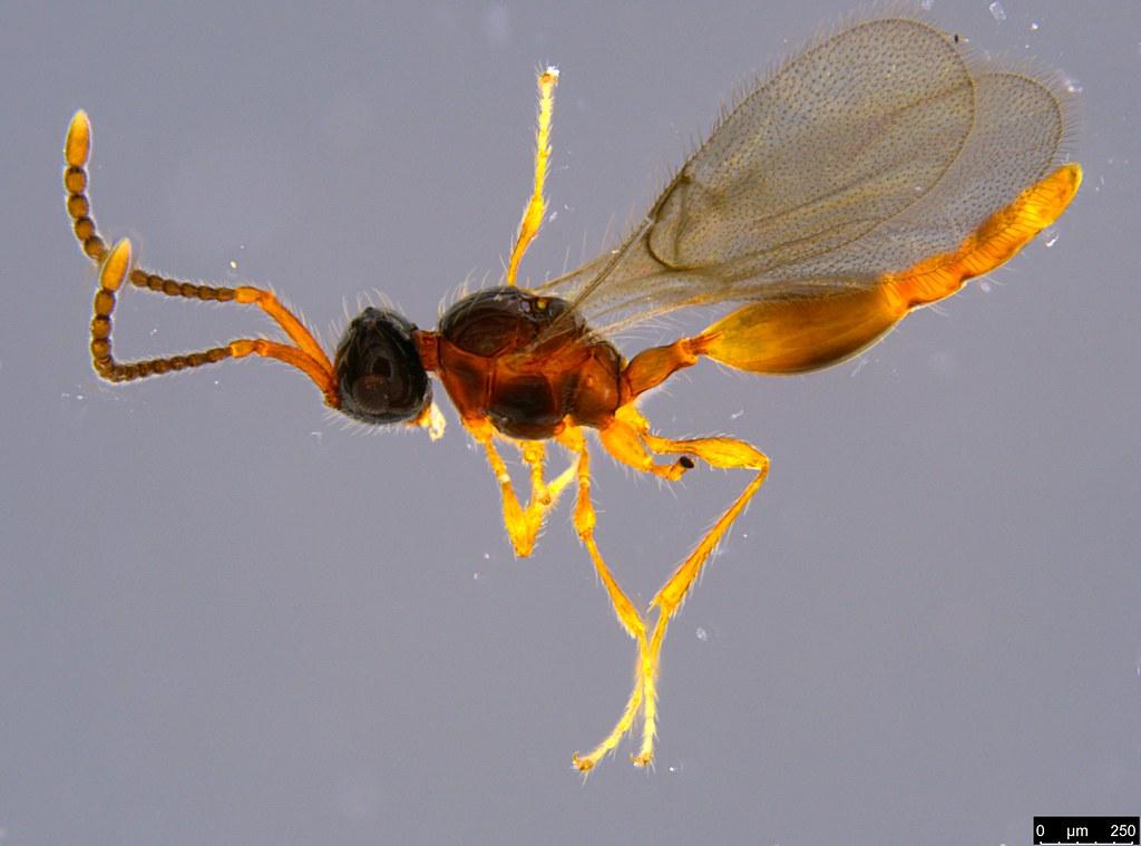 24 - Diapriidae sp.