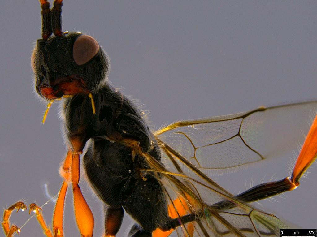 25b - Monomachus antipodalis Westwood, 1874