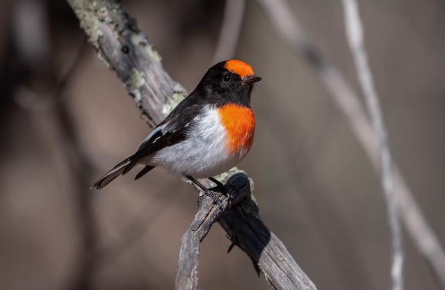 Red-capped Robin,  Terrick Terrick National Park