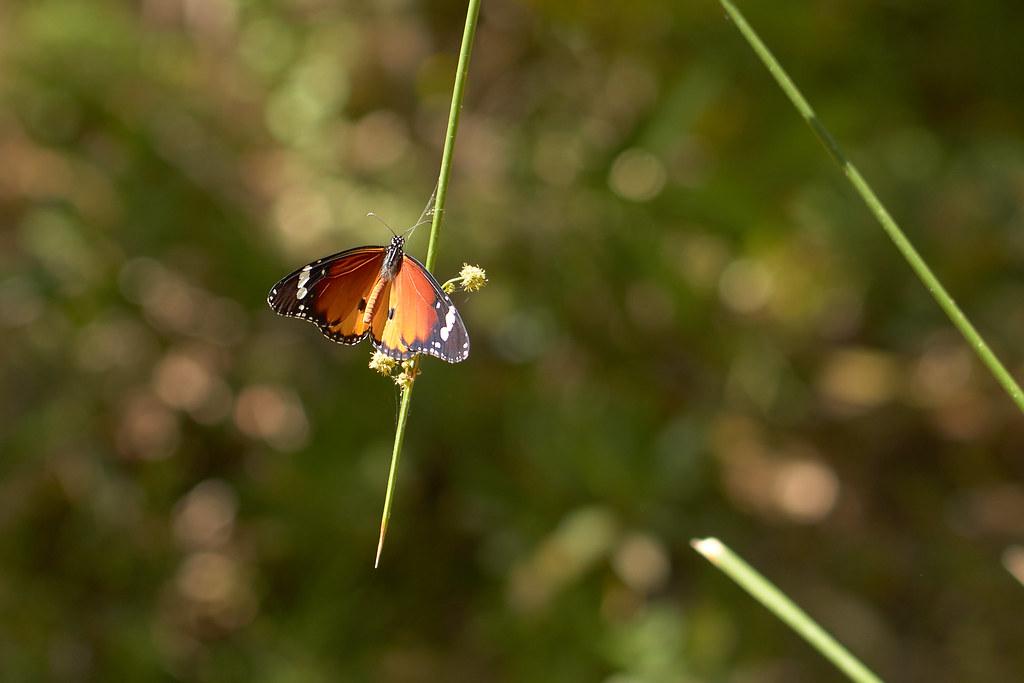 Nymphalidae, Danaus chrysippus