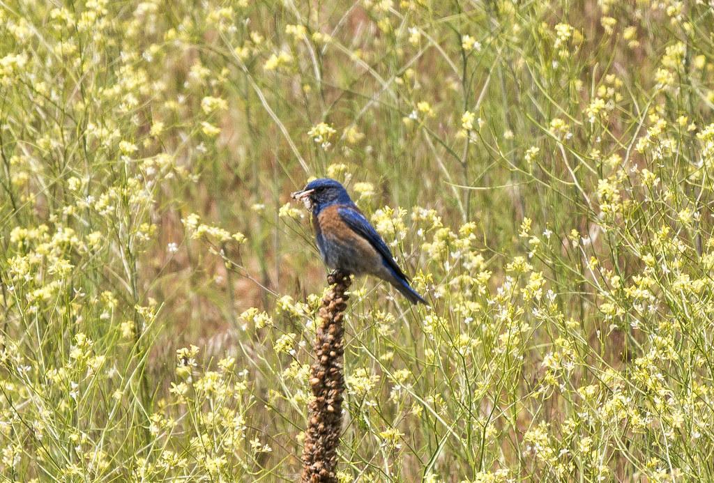 Western  Bluebird with worm (1 of 1)