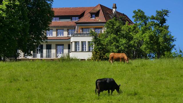 Switzerland's City Cows