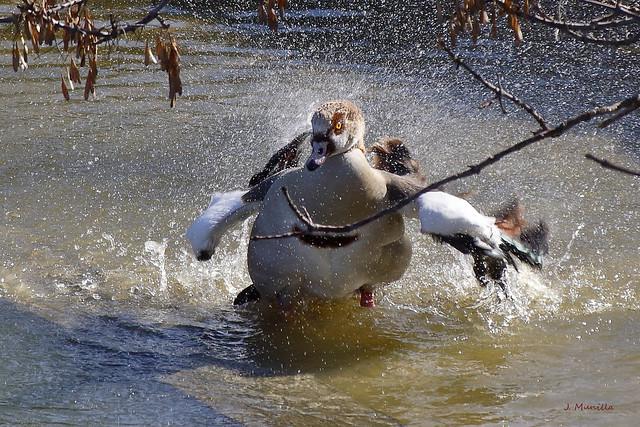 Ganso del Nilo aterrizando IMG_4180