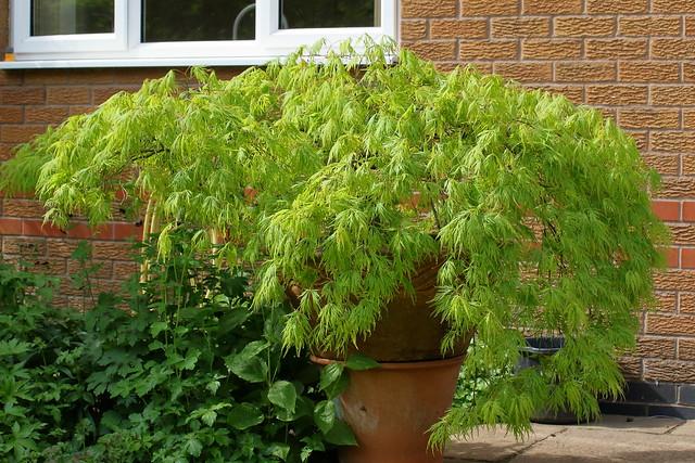 Acer palmatum dissectum Viridis - weeping form