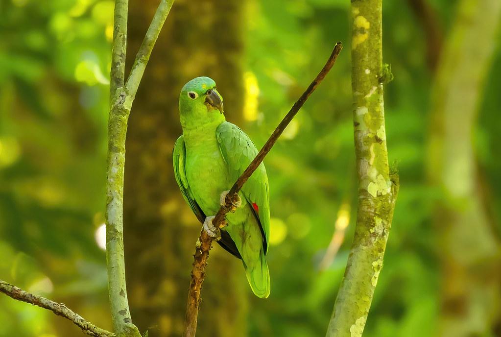 Mealy Parrot / Southern mealy amazon (Amazona farinosa)