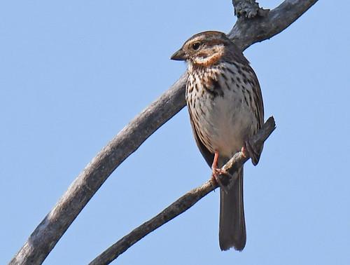 Song Sparrow - Brickyard Trail - © Dick Horsey - May 20, 2021