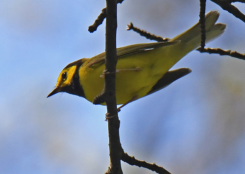 Hooded Warbler - Cobbs Hill - © Dick Horsey - May 20, 2021