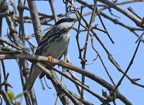 Blackpoll Warbler - Lakeview Community Church Trail - © Dick Horsey - May 21, 2021