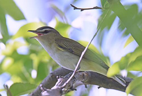 Red-eyed Vireo - Lakeview Community Church Trail - © Dick Horsey - May 21, 2021