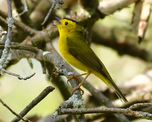 Wilson's Warbler - Lakeview Community Church Trail - © Alan Bloom - May 22, 2021