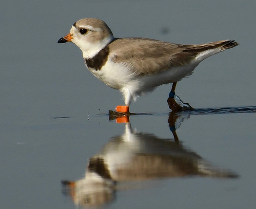 Piping Plover - Braddock Bay East Spit - © Alan Bloom - May 22, 2021