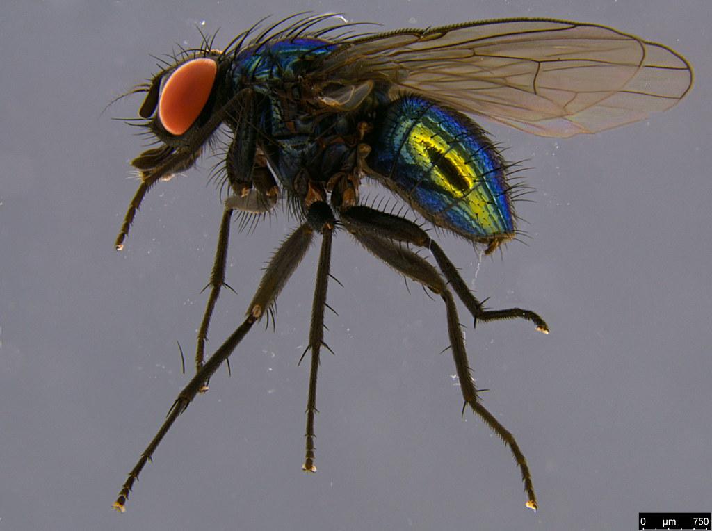 10 - Tachinidae sp.