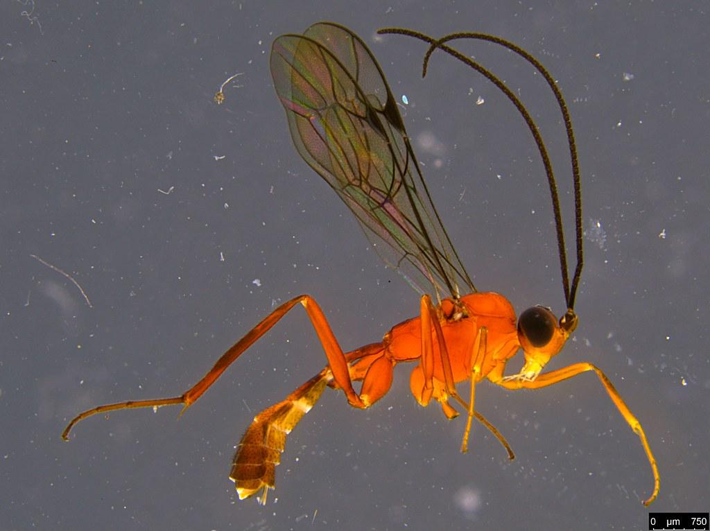 16b - Ichneumonidae sp.
