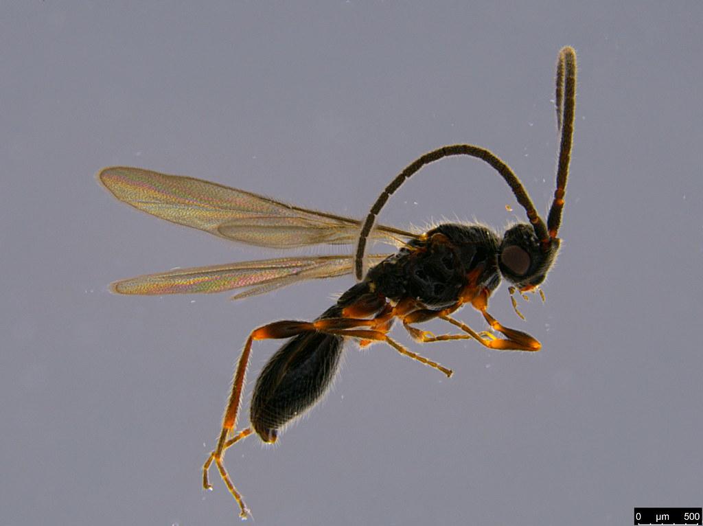 21a - Diapriidae sp.