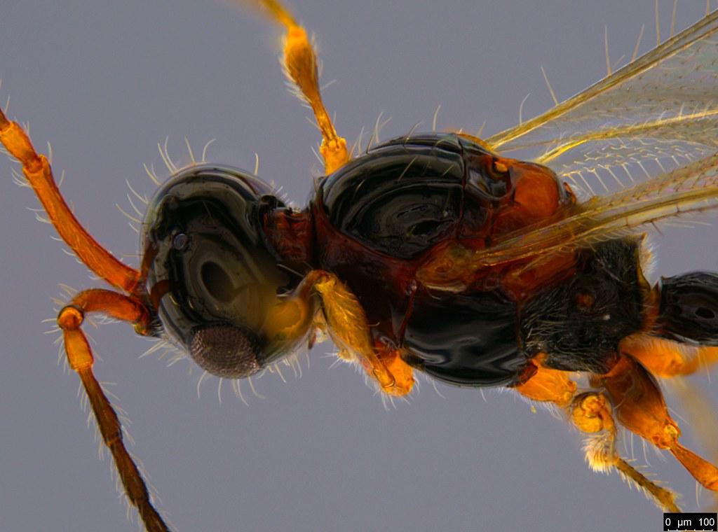23b - Diapriidae sp.