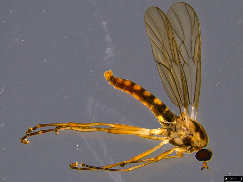 8 - Boreoides sp.