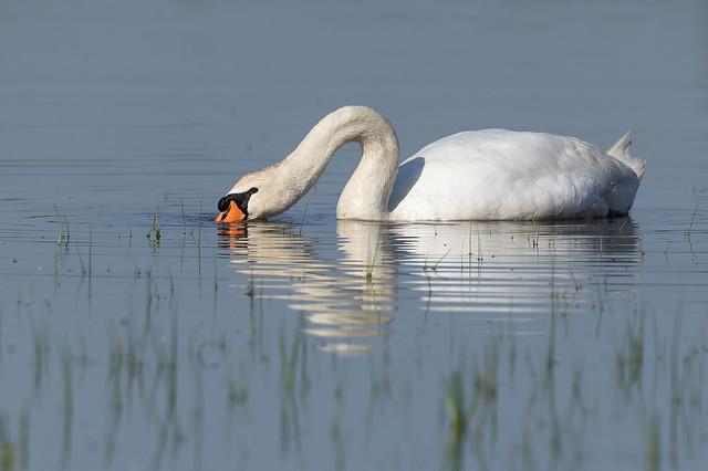 Cigne mut - Cisne vulgar - Mute swan - Cygne tuberculé - Cygnus olor