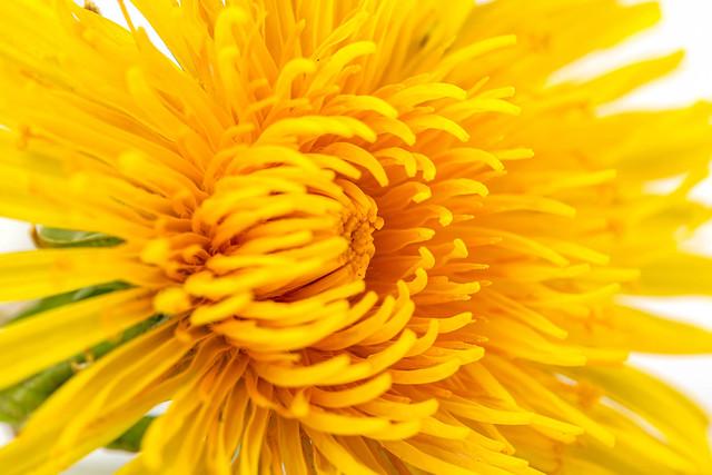 Yellow dandelion flowers, close up