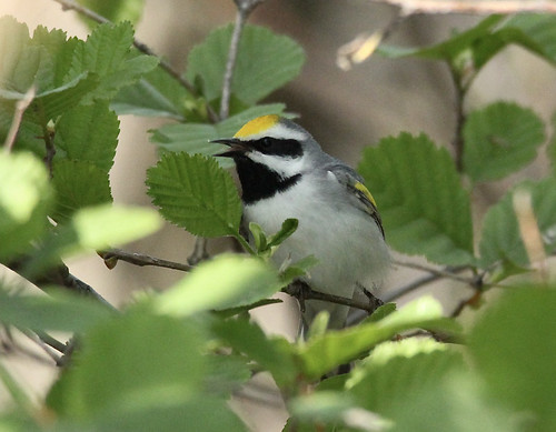 Golden-winged Warbler - Braddock Bay East Spit - © Rosemary Reilly - May 19, 2021