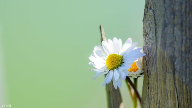 9775 - Daisy