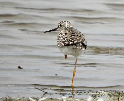 Lesser Yellowlegs - Braddock Bay East Spit - © Eunice Thein - May 22, 2021