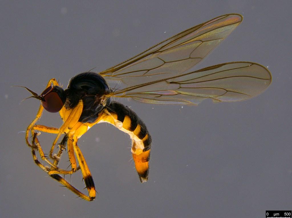 9 - Empidoidea sp.