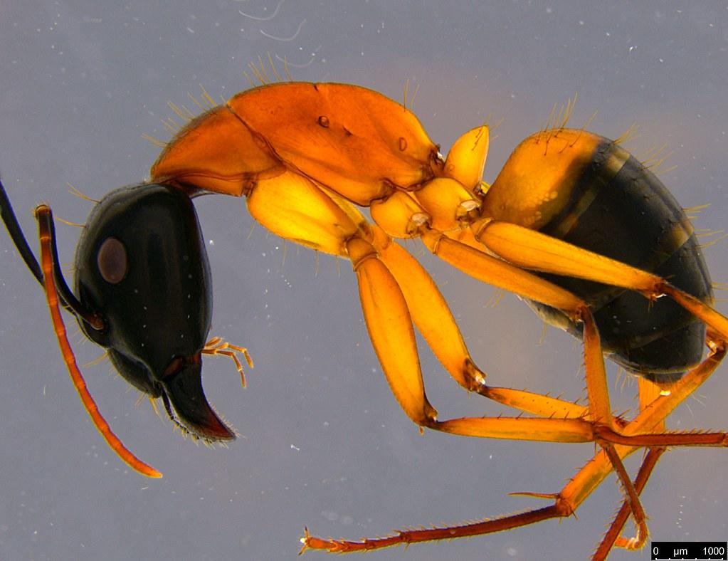 26b - Camponotus consobrinus (Erichson, 1842)
